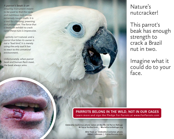 Cockatoo bite | For Parrots: Posters for Parrot Advocates - photo#23