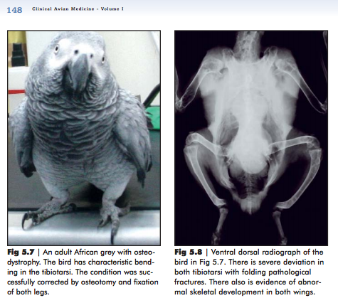 An adult African grey with osteodystrophy. Photo from Clinical Avian Medicine.