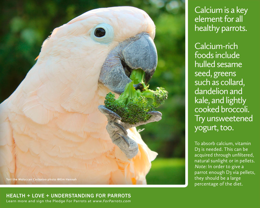 Calcium is Key   For Parrots: Posters for Parrot Advocates A Common Man Poster
