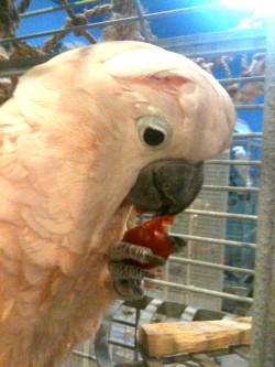 Annabelle eating a Mash-filled Cherry Tomato. Photo credit: Shauna Roberts