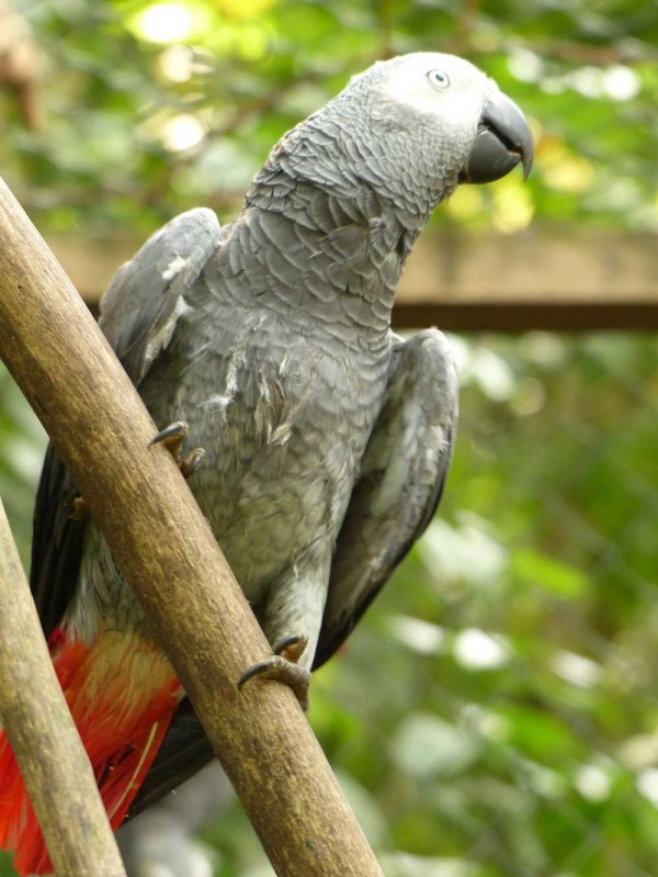 Wild African Grey Parrot recovering at Limbe Wildlife Centre, Cameroon.
